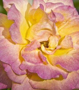 Pink and Yellow Rose by Kim Robbins