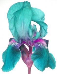 Turquoise Iris by Kim Robbins