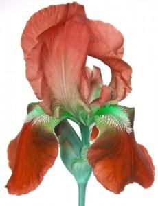 Red Iris by Kim Robbins