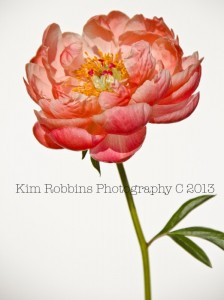 Long Stem Coral Peony