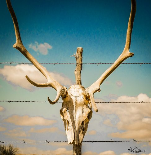 Skull at The TO Ranch In New Mexico