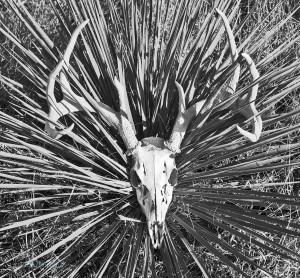 Deer Mule Skull by Kim Robbins