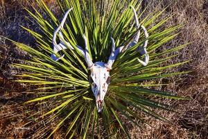 Deer Mule Skull #2