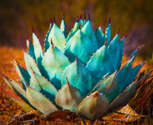 Small Agave