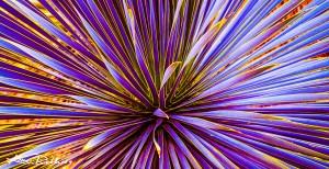 Purple Ocahui
