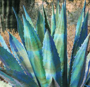 Blue & Green Agave