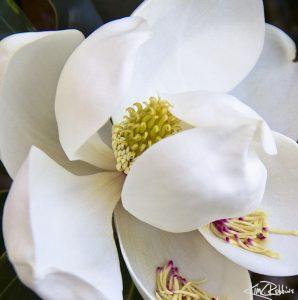 Magnolia September