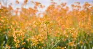 Spring Fields #1