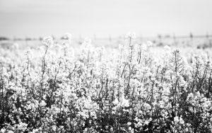 Spring Fields #2