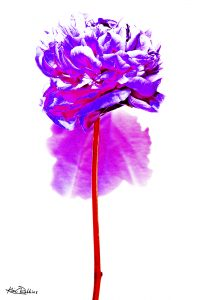 Purple & Pink Peony on White