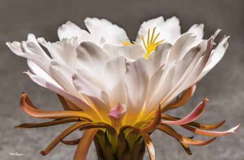 Cactus Bloom #2