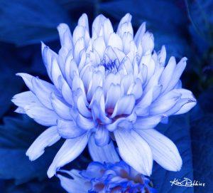 Kanpeki in Blue
