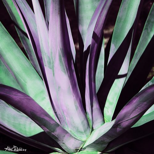 Green & Pink Agave
