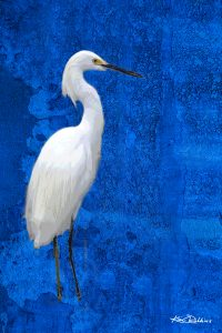 The Great White Egret #1