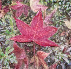 Red Leaf #2