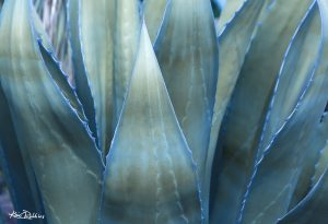 Silver & Blue Agave