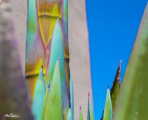 Rainbow Agave