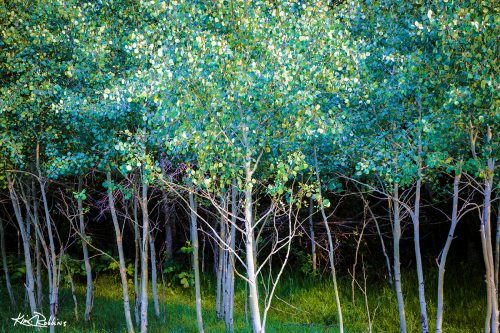Aspens in Blue
