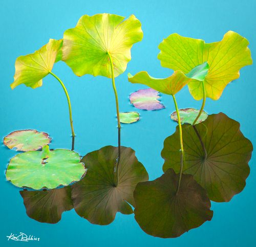 Lily Pads On Turquoise