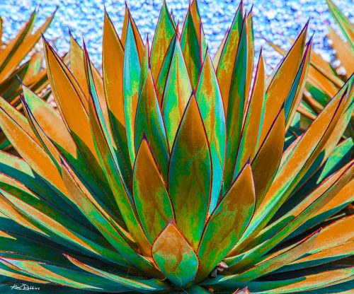 Agave on the Water