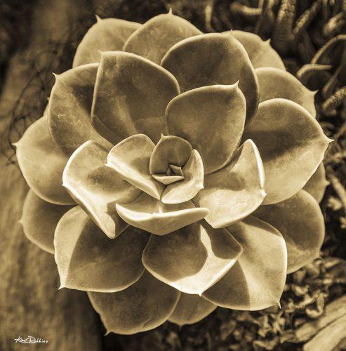 Succulent in Sepia