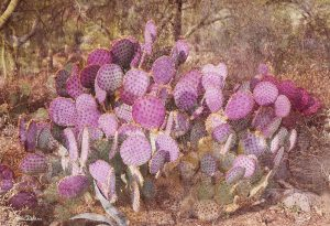 Prickly Pears in Desert Colors