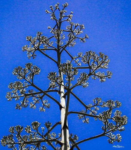 Century Plant in Classic Blue