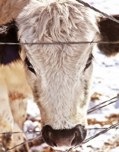 The English Cow