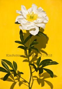 White Peony on Yellow